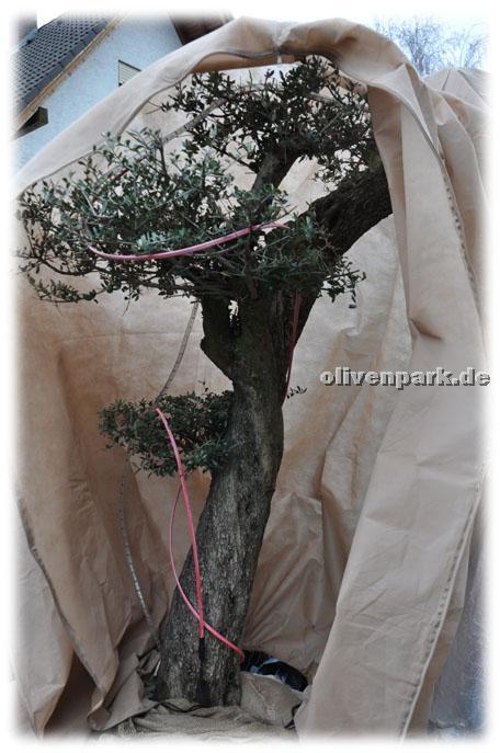 olivenb ume olivenbaum verkauf und vermietung in mannheim partner. Black Bedroom Furniture Sets. Home Design Ideas